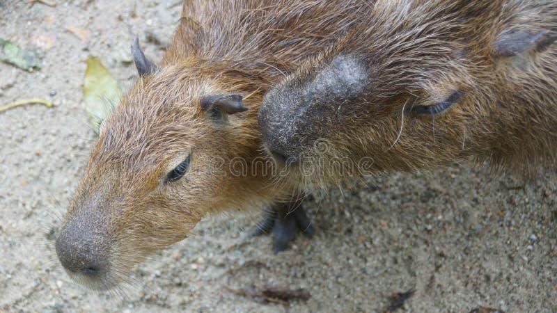 Capybaraen är en däggdjurs- inföding till Sydamerika Det är den största bosatta gnagaren i världen Kallade också chigüire royaltyfri bild