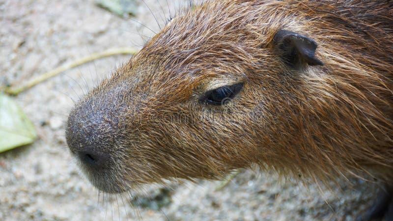 Capybaraen är en däggdjurs- inföding till Sydamerika Det är den största bosatta gnagaren i världen Kallade också chigüire royaltyfria foton