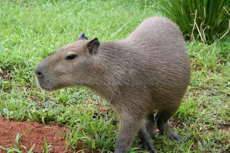 Capybaraportrait lizenzfreie stockfotos