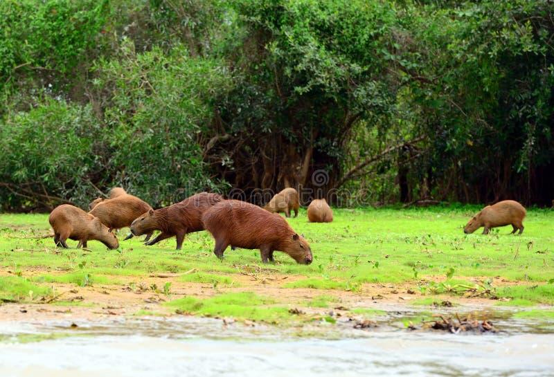 Capybaras imagen de archivo libre de regalías
