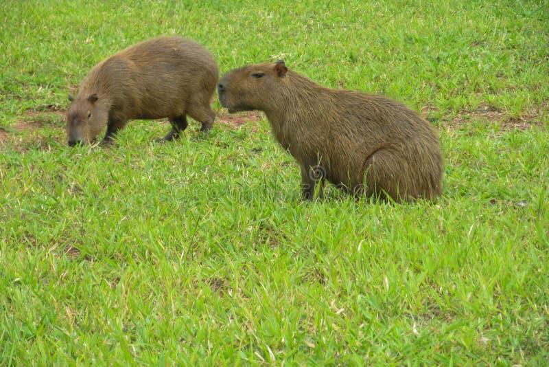 Capybaras foto de archivo
