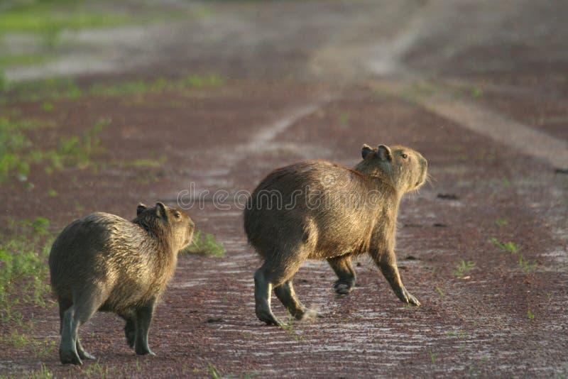 Capybaras auf einer Straße stockbild