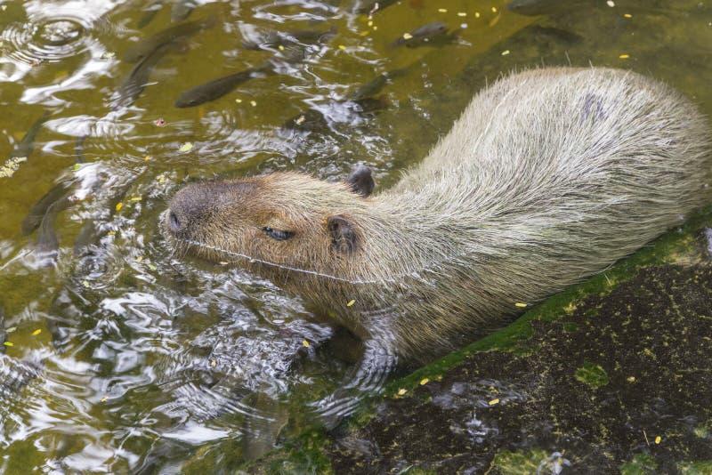 Capybaras dans l'étang image stock