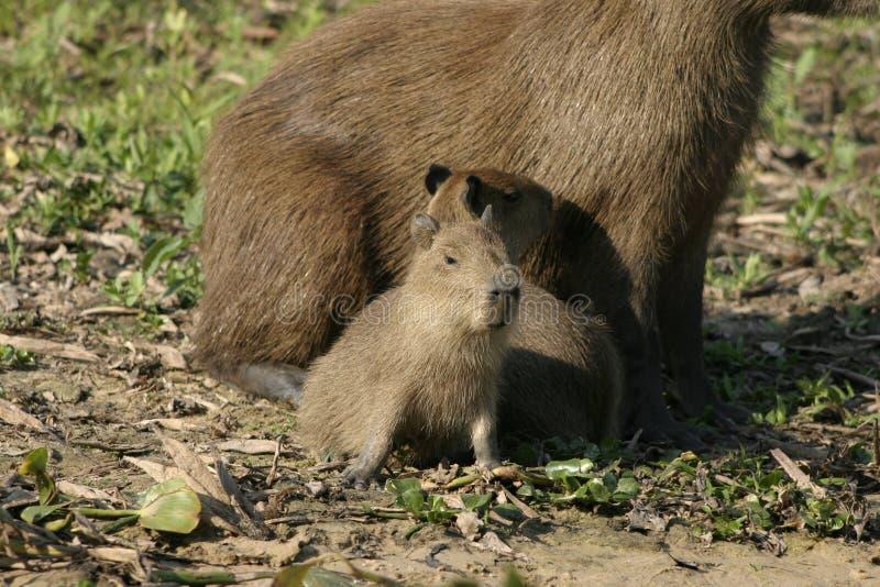 Capybaras del bebé fotos de archivo
