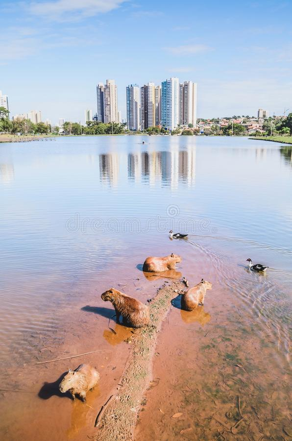 Capybaras on the shallow end of a park lake and some ducks swimming. stock photo