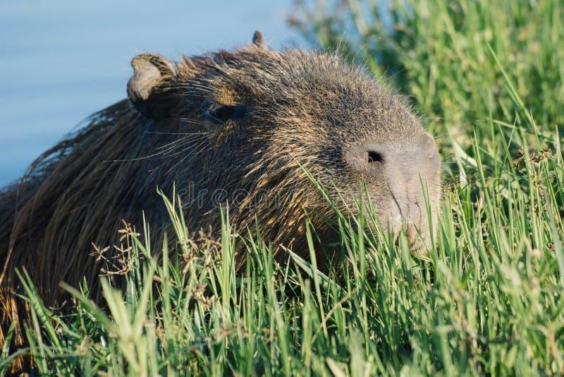 Capybaraschwimmen im Wasser lizenzfreie stockfotos