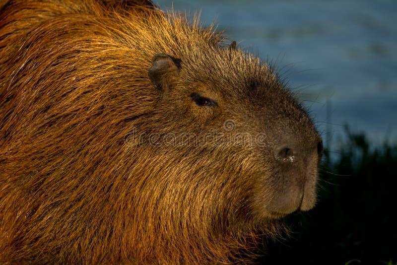 Capybaraschwimmen im Wasser stockfoto
