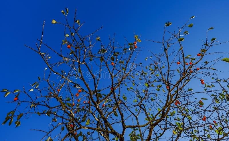 Caqui da árvore do caquizeiro com frutos fotografia de stock royalty free