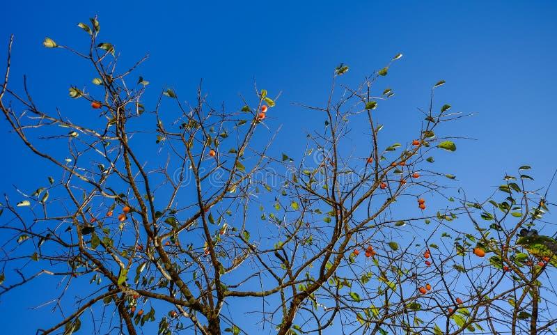 Caqui da árvore do caquizeiro com frutos foto de stock