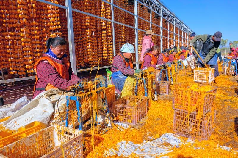 Caqui que processa a exploração agrícola imagem de stock royalty free