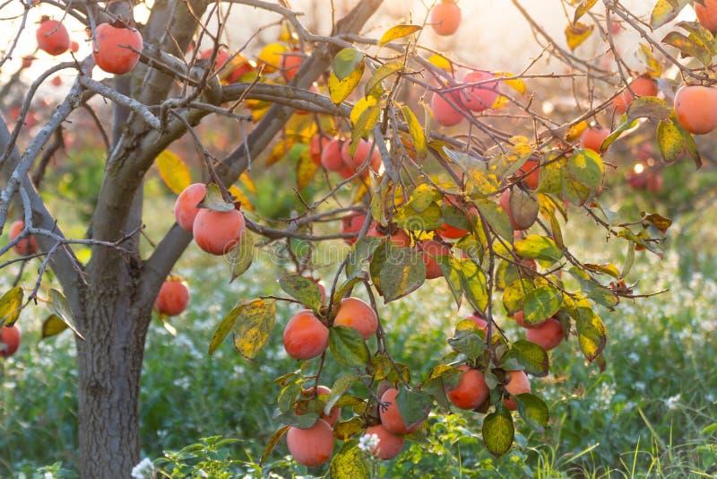 Caquis dulces en árboles en otoño en España en la salida del sol foto de archivo libre de regalías