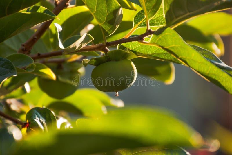 Caquis persimons verdes al sol esperando la cosecha stock images