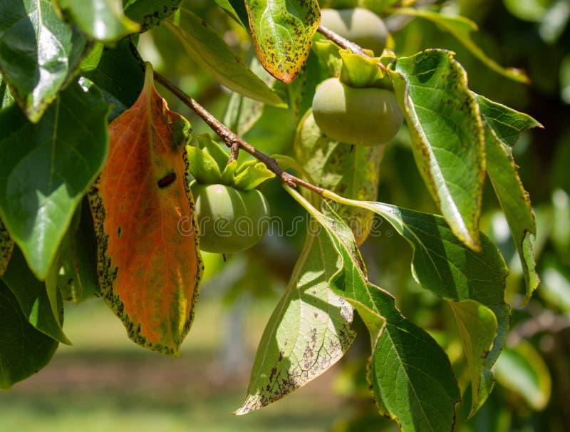 Caquis que amadurecem na árvore em Florida sul, EUA foto de stock royalty free