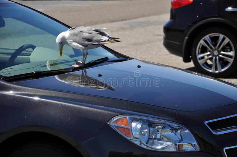 Download Car and the bird stock photo. Image of walk, funny, glass - 29063600