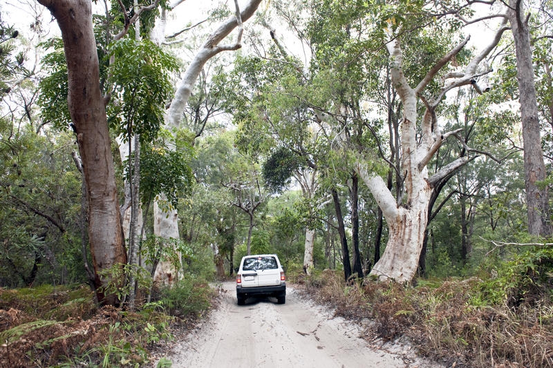 Car in the jungle forest of Fraser Island, four wheel drive vehicle on sandy way through eucalyptus forest. Sandy way through jungle with giant eucalyptus trees stock photo