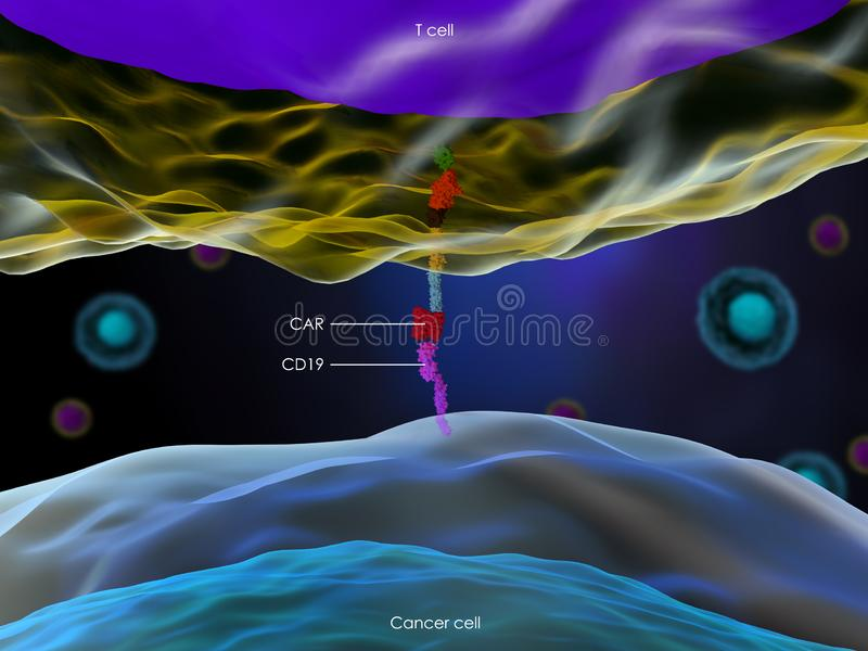 CAR T cell interacting with a cancer cell through CD19 antigen. 3d illustration of a CAR T cell interacting with a cancer cell through CD19 antigen stock illustration