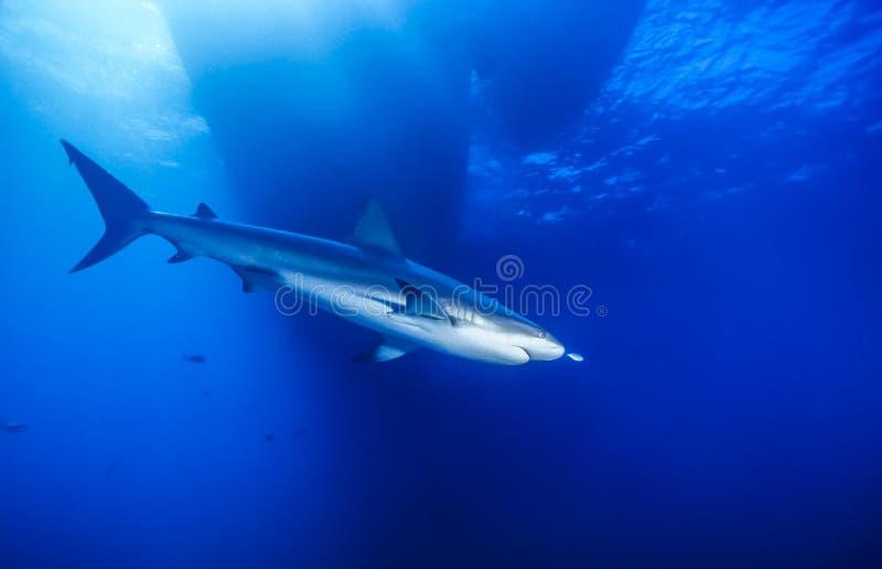 Caraïbische ertsaderhaai, Carcharhinus-perezii royalty-vrije stock afbeelding