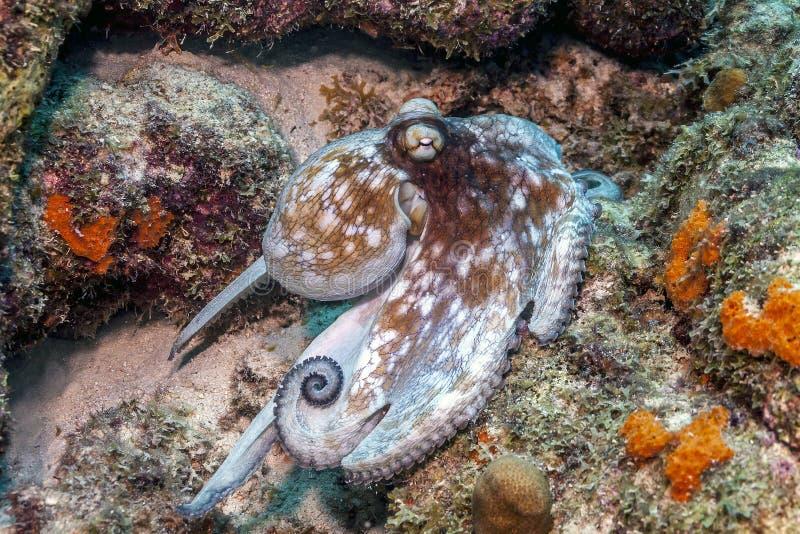 Caraïbische ertsaderoctopus, Octopusbriareus stock foto's