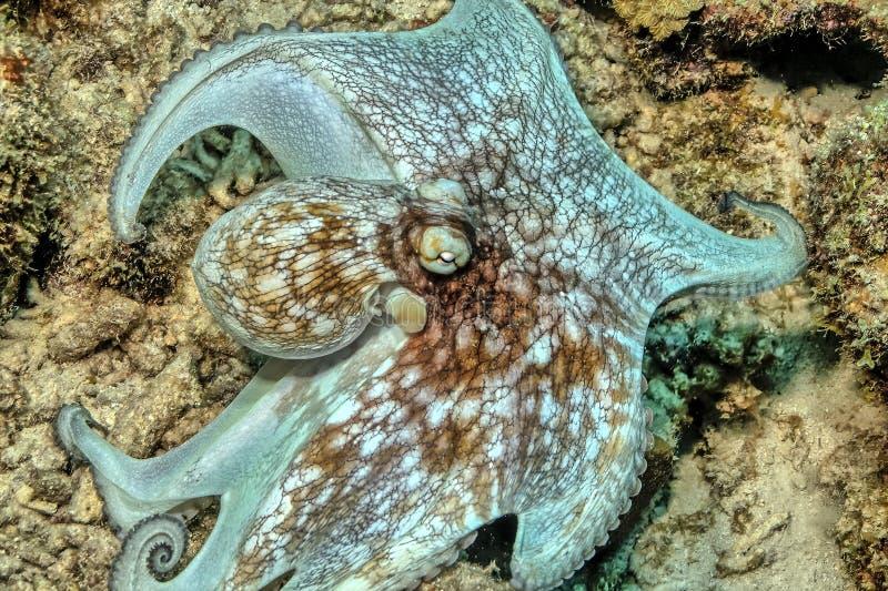 Caraïbische ertsaderoctopus, Octopusbriareus royalty-vrije stock foto's