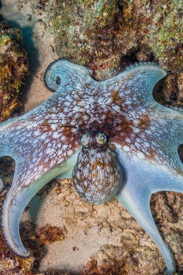 Caraïbische ertsaderoctopus, Octopusbriareus stock afbeeldingen