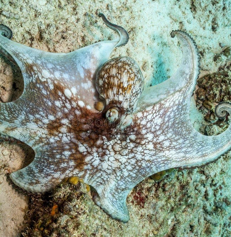 Caraïbische ertsaderoctopus, Octopusbriareus stock fotografie
