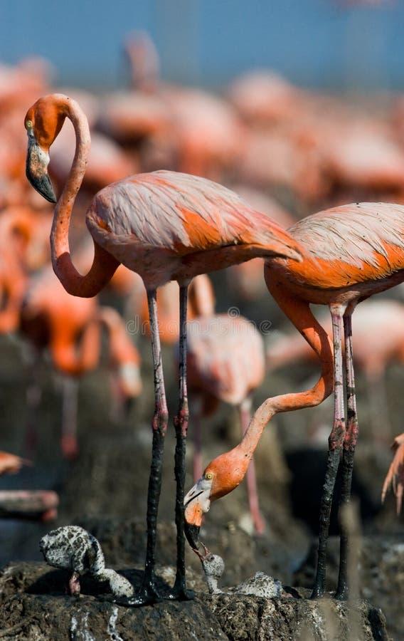 Caraïbische flamingo op een nest met kuikens cuba royalty-vrije stock afbeelding