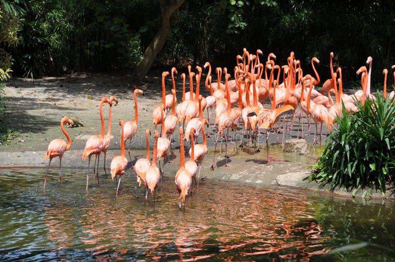 Download Caraïbische flamingo's stock afbeelding. Afbeelding bestaande uit rivier - 29505775