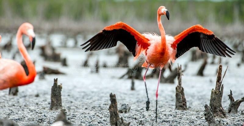Caraïbische flamingo's Phoenicopterus ruber ruber royalty-vrije stock afbeeldingen