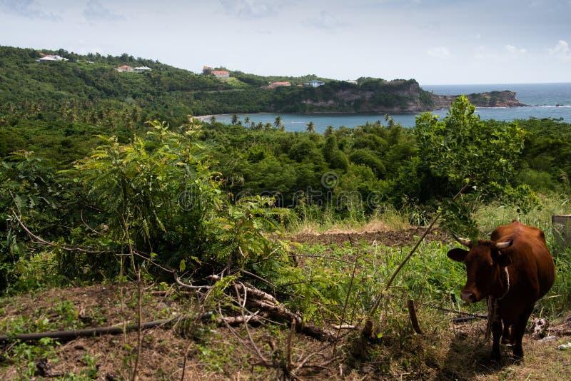 Caraïbische koe, Grenada royalty-vrije stock afbeeldingen