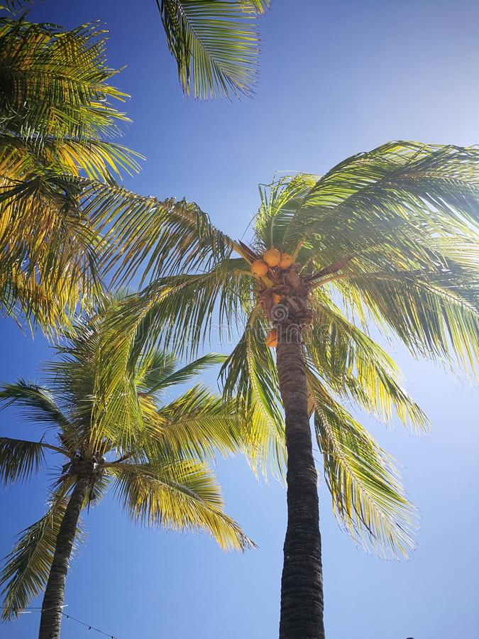 Caraïbische kokospalmen royalty-vrije stock fotografie