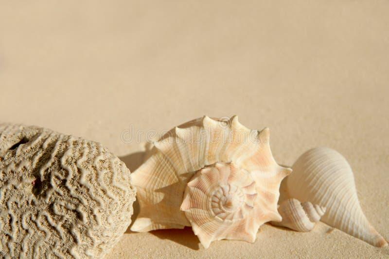 Caraïbische overzeese van het strandzand shells en hersenencor royalty-vrije stock afbeeldingen