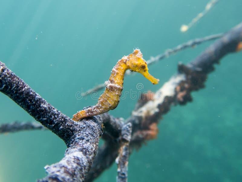 Caraïbische Seahorse stock afbeelding