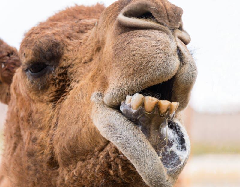 Cara adorável de um camelo fotografia de stock