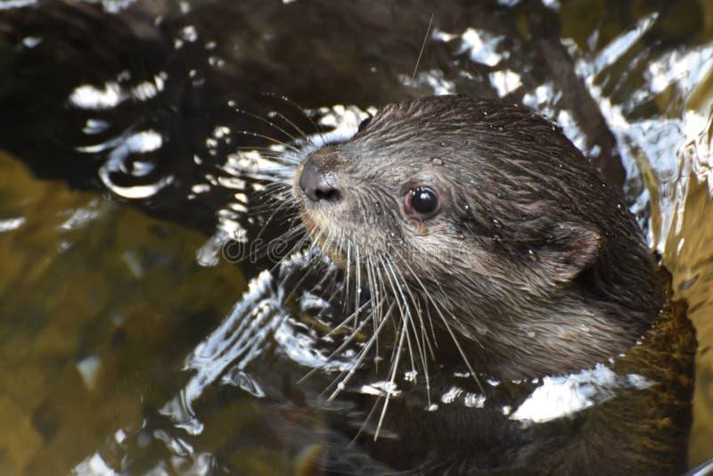 Cara adorável de uma lontra de rio que repica fora do rio foto de stock