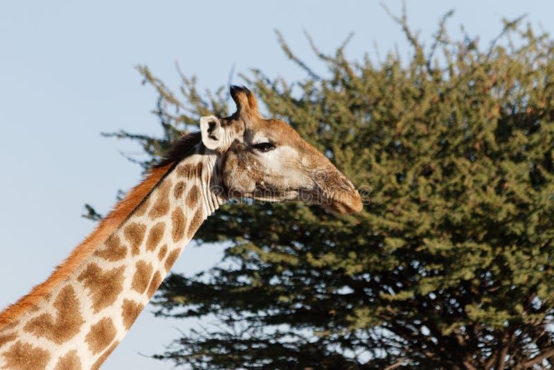 Cara arrogante do girafa contra o fundo do céu azul claro e da árvore verde da acácia na reserva natural de Okonjima, Namíbia fotos de stock