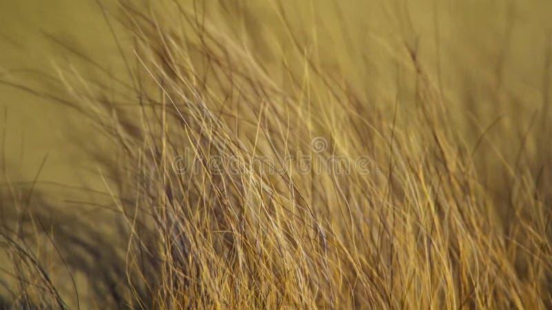 Cara ascendente próxima do leão masculino africano selvagem, savana, África imagem de stock