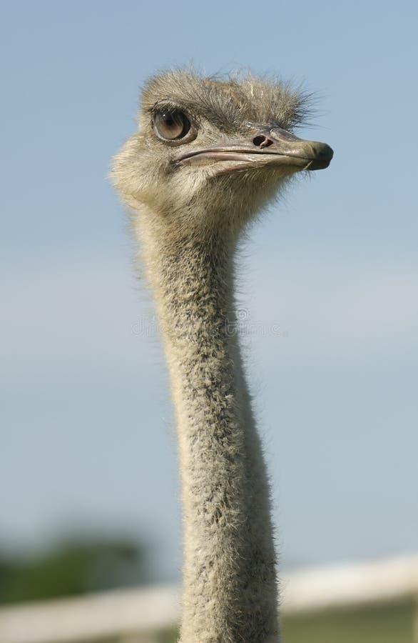 Cara australiana de la avestruz imágenes de archivo libres de regalías
