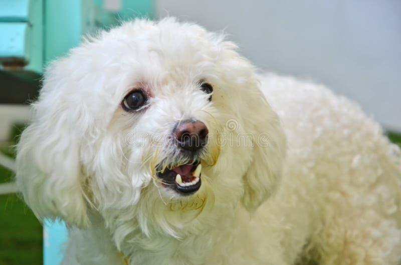 Cara bonita do close up irritado do cão de caniche imagem de stock