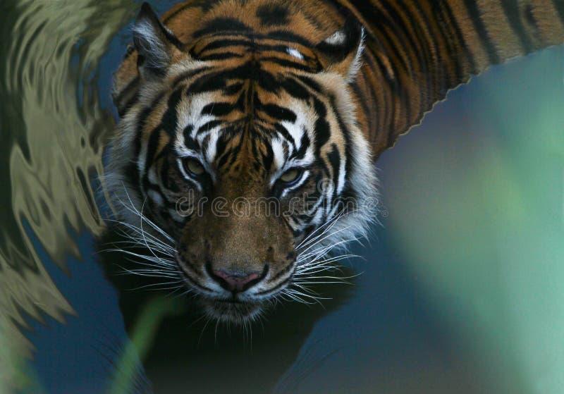 cara bonito do tigre do sumatran fotografia de stock