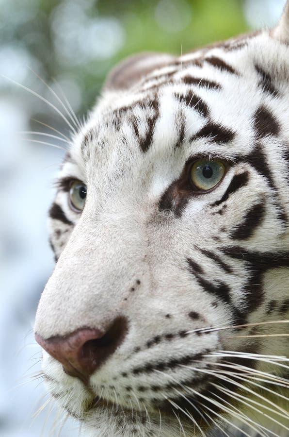 Cara branca do tigre de bengal fotografia de stock