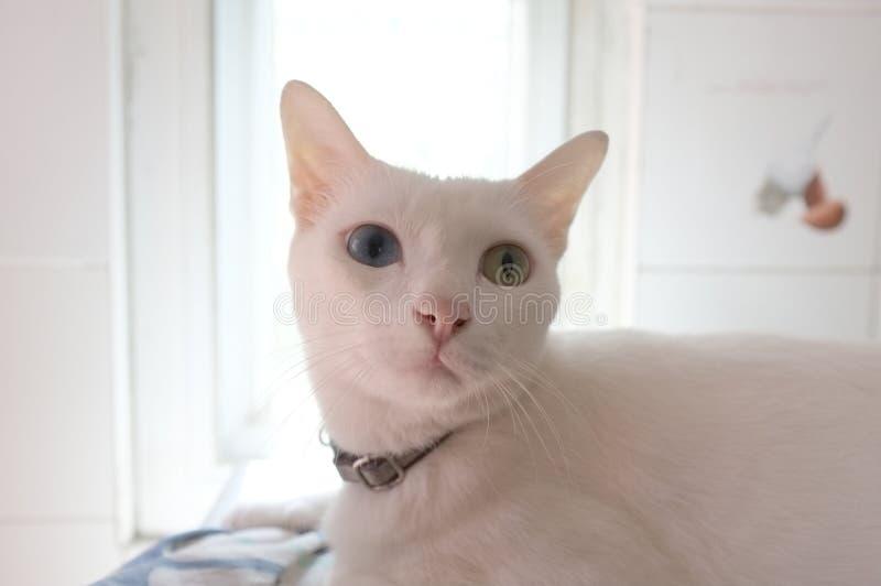 A cara branca pura Siamese dos gatos Os olhos impares do gato têm um olho dourado e um azul um Animal bonito do conceito imagem de stock