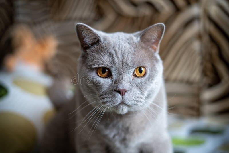 Cara británica del gato imagenes de archivo