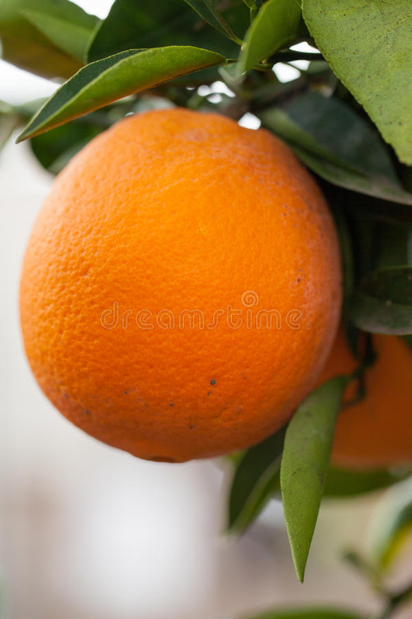 Cara Cara orange on tree branch. California organic oranges on tree branch Cara Cara oranges stock image