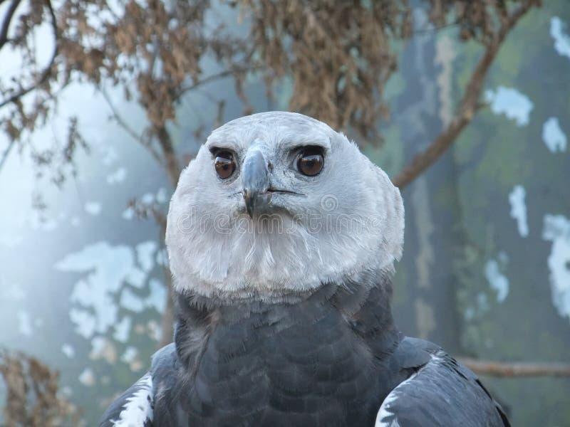 Cara da águia de harpia imagem de stock royalty free