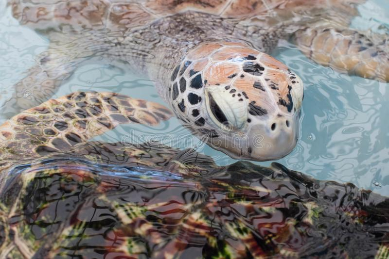 Cara da tartaruga de mar em águas azuis foto de stock