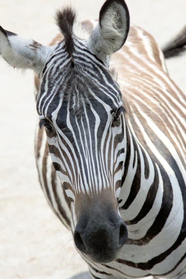 Cara da zebra foto de stock royalty free