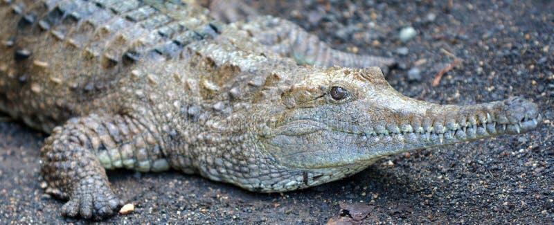 Cara de água doce do crocodilo fotografia de stock royalty free