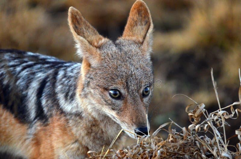 Cara de espalda negra del chacal (mesomelas del Canis) foto de archivo libre de regalías