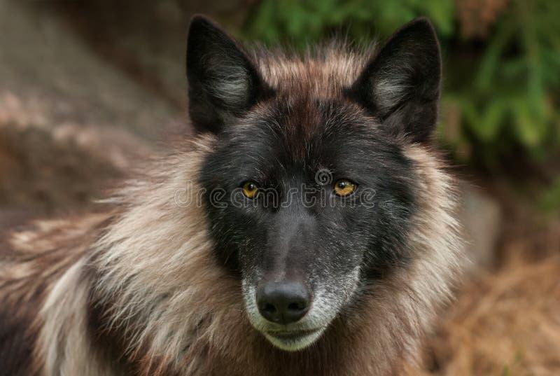 Cara de Grey Wolf (lúpus de Canis) fotografia de stock royalty free