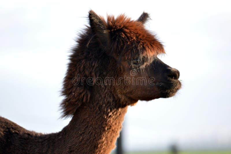 Cara de la alpaca foto de archivo libre de regalías